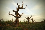 Bechthold Vineyard Cinsault After Pruning-Courtesy Michael David