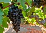 Bechthold Vineyard Cinsault Cluster