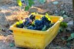 Bechthold Vineyard Cinsault Fruit