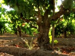 Bechthold Vineyard Cinsault In Spring-Courtesy Michael David
