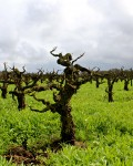 Bechthold Vineyard Vine in Winter-Courtesy Lodi Winegrape Commission