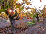Bechthold Vineyard in Autumn-Courtesy Lodi Winegrape Commission
