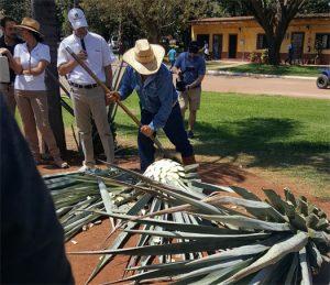 Jimador cutting the pina