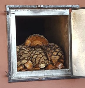 Agave roasting in the oven